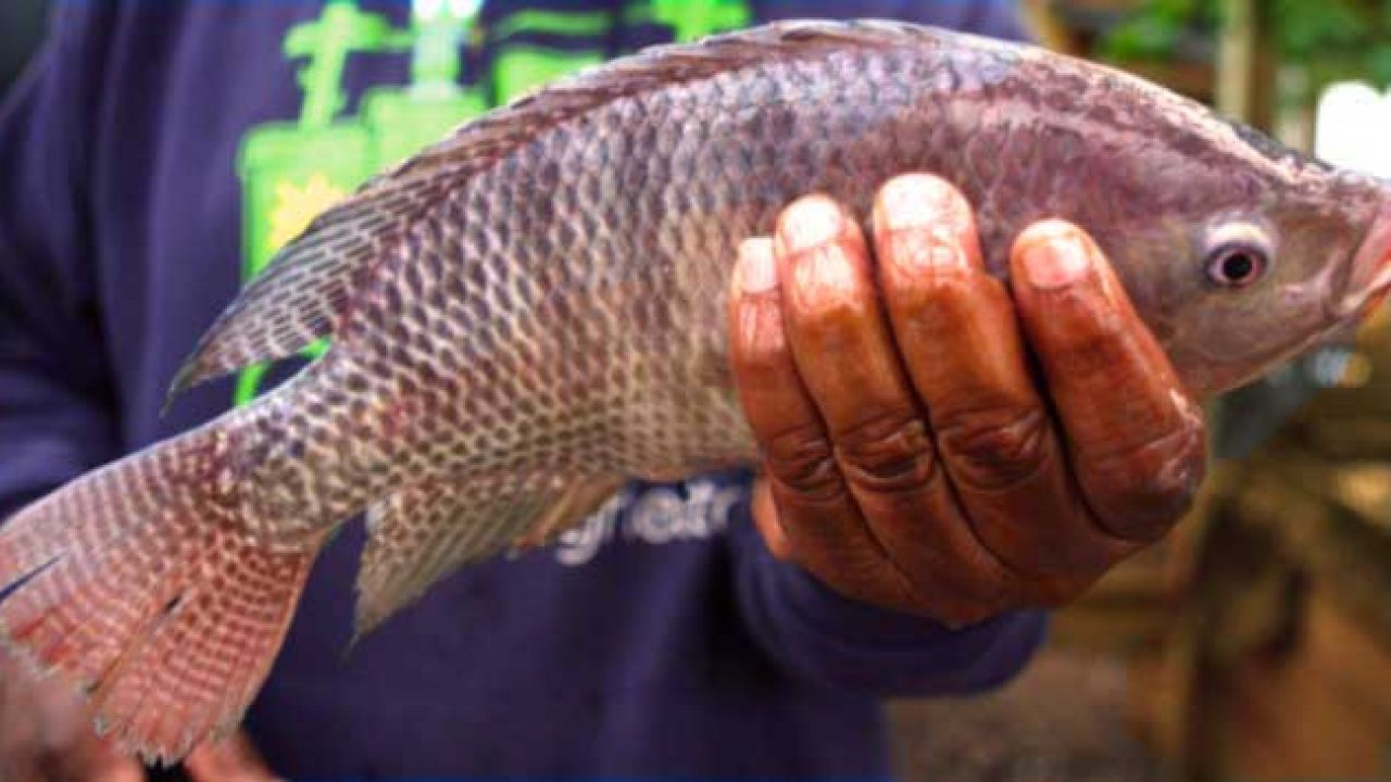 Grow Tilapia Fish to Starting a Small Scale Business [Guide]