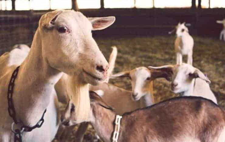 7 steps to start goat farming business for profit
