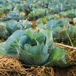Cabbage Farming Guide