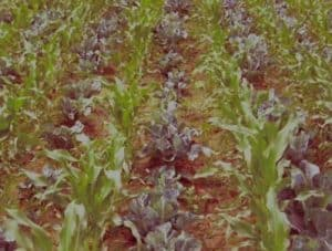 intercropping method in baby Corn farming