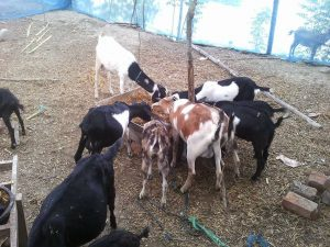 Collecting Quality Goats in a farm tips