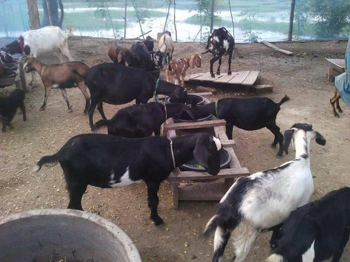 Black Bengal Goat Farm.