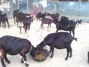 Benefit Of Black Bengal Goat Farming