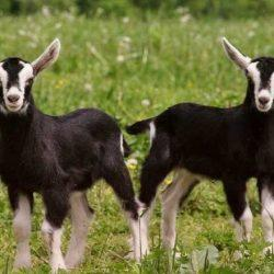 Start Black Bengal Goat Farming | Best Process