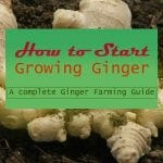 Grow Ginger for Profit Step by Step Guide