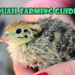 How to Start Quail Farming