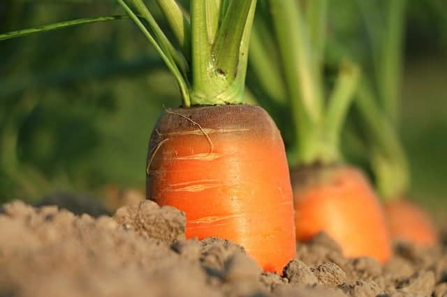 carrot farming in a garden