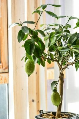 growing an indoor lemon tree