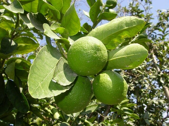 outdoor lemon tree from seed