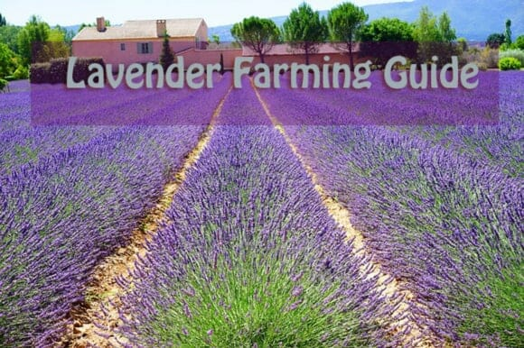 Lavender Farming Guide How To Grow Lavender For Profits