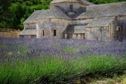 lavender farming guide
