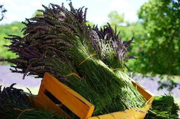 lavender harvesting tips