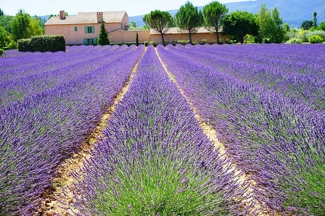 start growing lavender