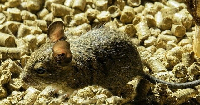 How to Get Rid of Burrowing Rats Fast 1