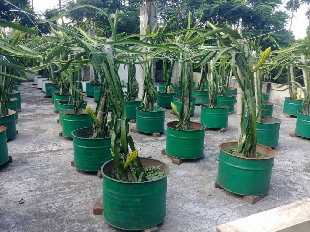 How to Grow Dragon Fruits in Pots