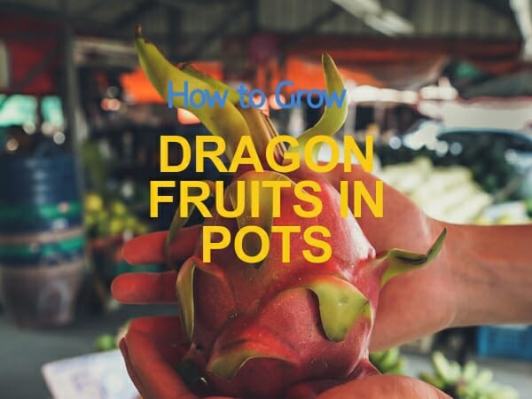 grow dragon fruits in pots- guide