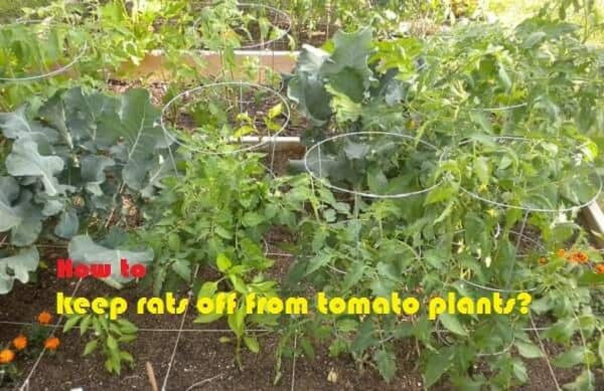 How To Keep Rats Off From Tomato Plants Farming Method,Best Color For Small Bedroom Walls