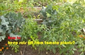 How to keep rats off from tomato plants