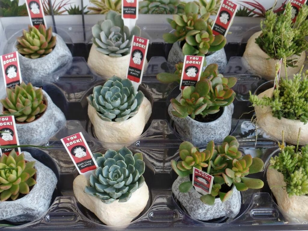Growing Succulents From Seeds