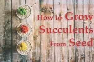 How to Grow Succulents from Seeds