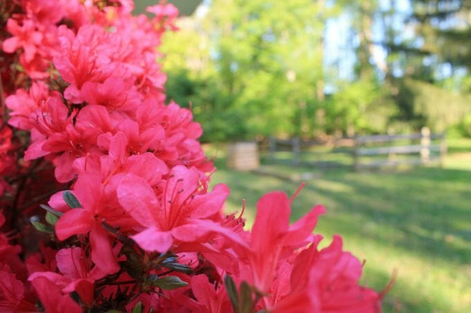 How to Fertilize Azalea for Optimal Growth and Blooms