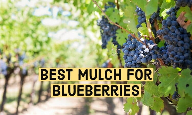 The Best Mulch for Blueberries