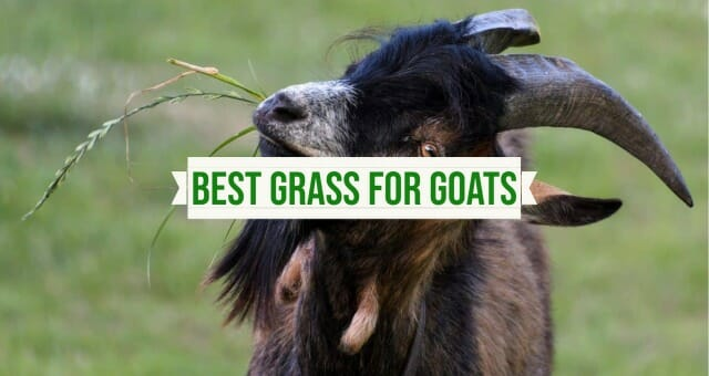Best Grass for Goats to Eat