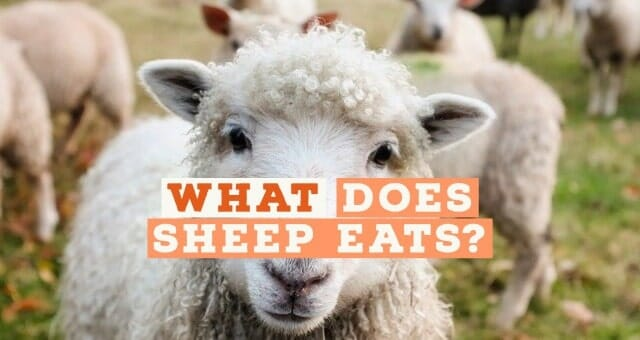 What does a Sheep Eat