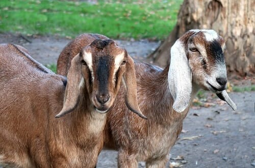 Anglo-Nubian Goat - Best goat for both milk and meat