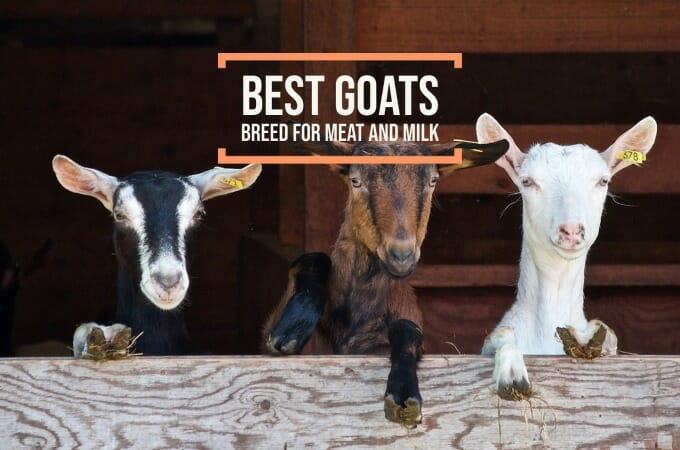 Best Goat Breed For Meat and Milk