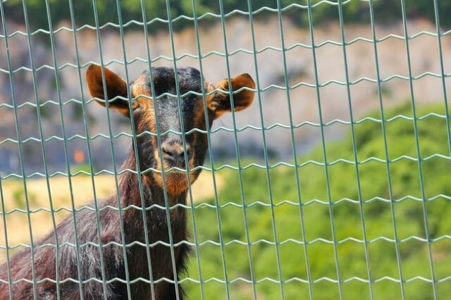 Best Electric Fences is for Goats, Portable and Durable