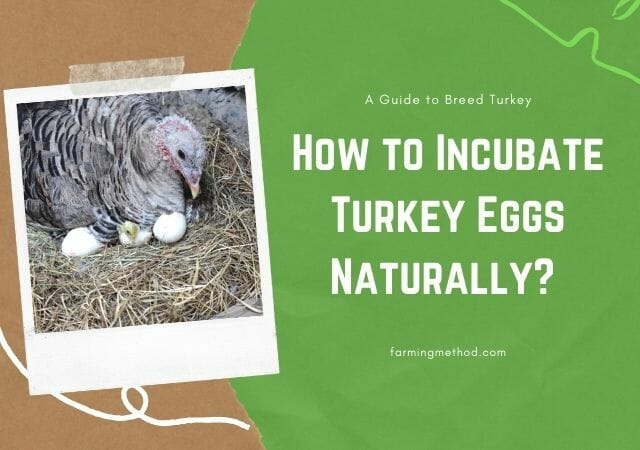 How to Hatch Turkey Eggs Without Incubator?