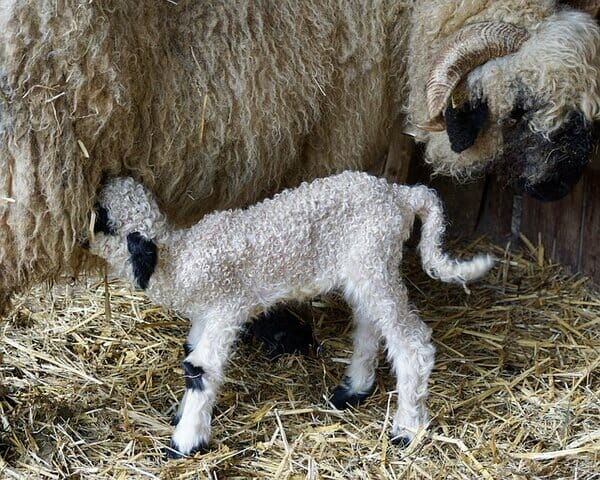 Feedings Nutrition Requirement of Baby Lambs