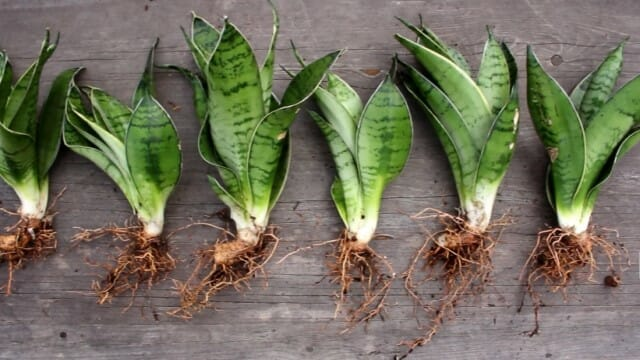 how to separate snake plant for repotting