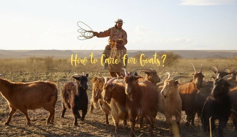 How to Care for Goats