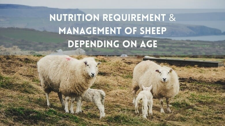 Nutrition Requirement of Sheep