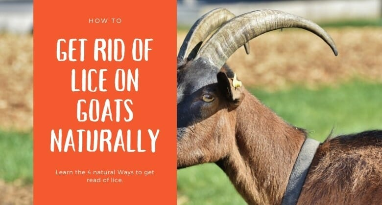 How to get rid of lice on goats organically